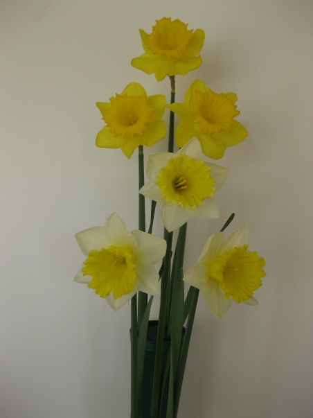 Showing Daffodils